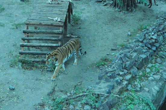 Mykolayiv, Ucrania:                   bengal tiger