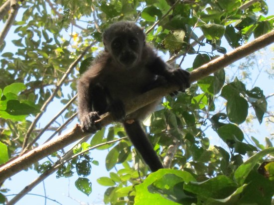 Four Seasons Resort Costa Rica at Peninsula Papagayo:                   One of the many inquisitive monkeys.