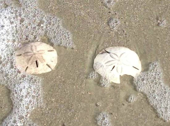 ‪‪Hunting Island State Park‬:                   Sand dollars