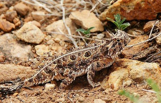 Valley of Fires Recreation Area:                   Horned Lizard - Krötenechse