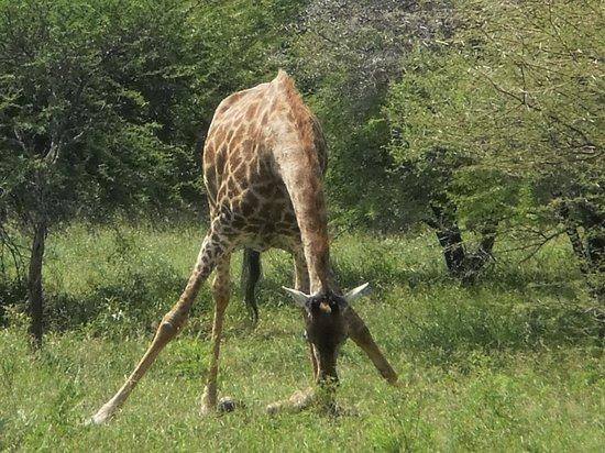 Elandela Private Game Reserve:                   El nacimiento de una jirafa