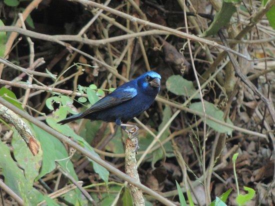 Villas Ecotucan:                   blue bunting