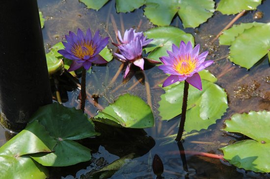 Ridee Villa:                                     lotus flowers in the pond