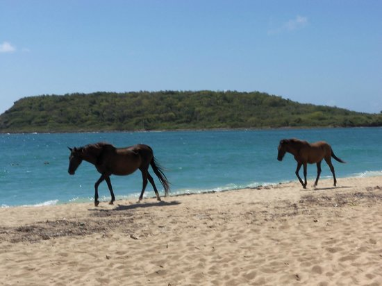 "Malecon House:                   ""Wild"" horses on Sun Beach"