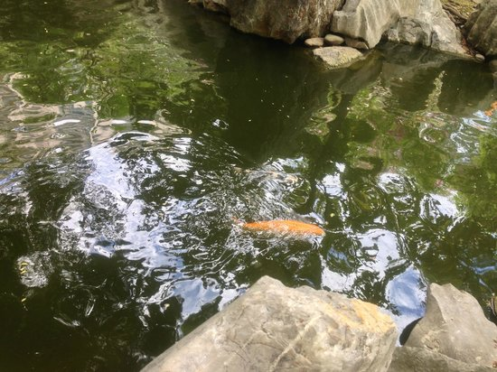 Chinese Garden of Friendship:                   Koi pond
