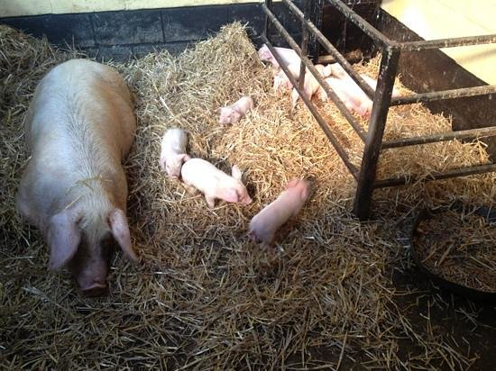 Rare Breeds Centre:                   11 day old piglets.