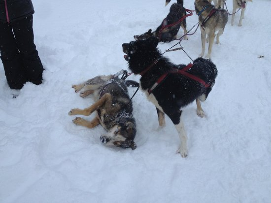 Seavey's IdidaRide Sled Dog Tours:                   Playing in snow during the stops