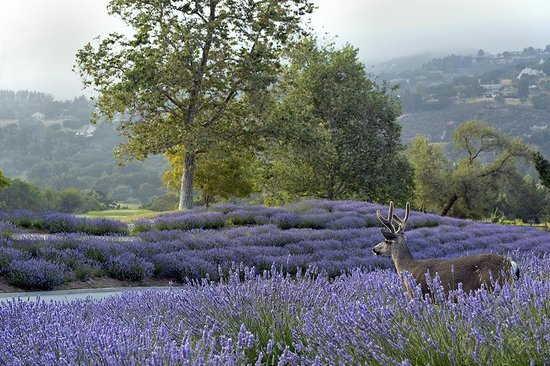 Carmel Valley Ranch: Buck in our lavender fields