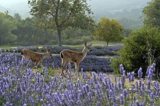 Carmel Valley Ranch: Baby deer in lavender field