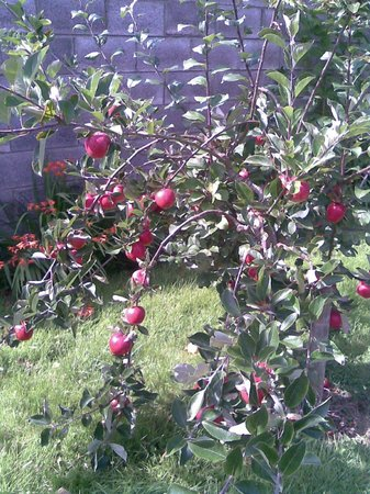 Beach Lodge: fruit trees in back garden