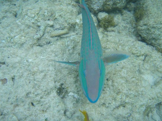 Divi Flamingo Beach Resort and Casino:                   Parrot fish saying Hi! At the resort