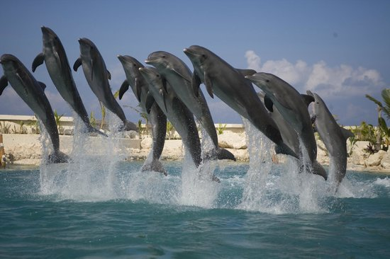 Dolphinaris Cozumel:                   Dolphins