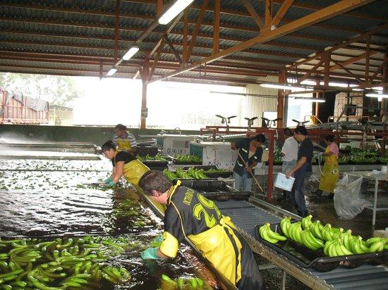 The Jungle Breeze:                   Del Monte farm