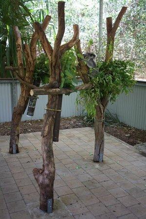 Bungalow Bay Koala Village:                   Los pobres koalas del parque de Bungalow bay aislados en ramas de mentira