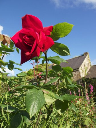 Traditional Rose garden - Picture of Upton Castle Gardens, Tenby ...