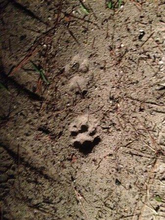 Captain Steve's Swamp Buggy Adventures:                                                       panther tracks