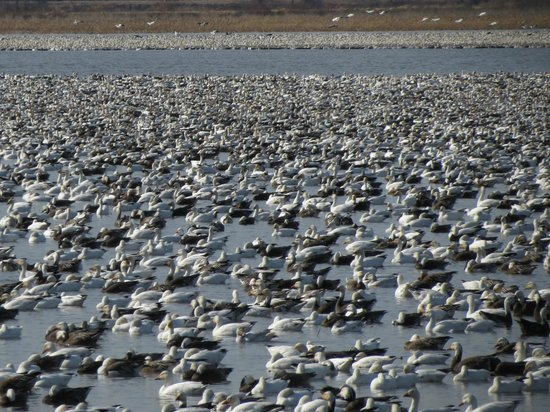 Mound City, MO :                   Millions of birds at the refuge