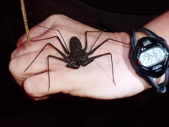 The Night Tour with Tracie The Bug Lady:                   tailless whip scorpion