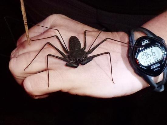 Drake Bay, คอสตาริกา:                   tailless whip scorpion