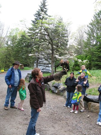Wolf Conservation Center:                   Hawk flies toward the food