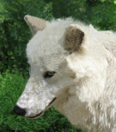 Wolf Conservation Center:                   Atka- a very special wolf