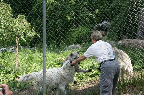 Wolf Conservation Center:                   Feeding one of the ambassador wolves