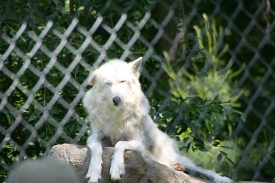 Wolf Conservation Center:                   Sun bathing on a nice day