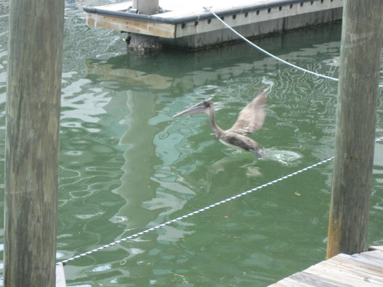 Hyatt Regency Sarasota:                   Pelican feeding in the marina