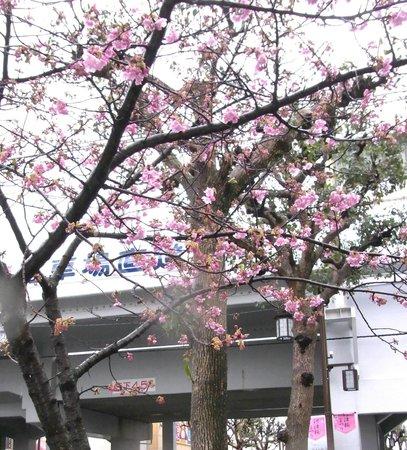 Kawazu Zakura (Kawazucho):                   チラホラ咲きの河津桜