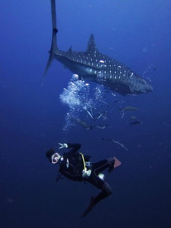 French Kiss Divers: Rie and the whale shark!!