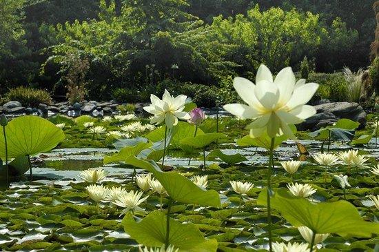 Lotus au bassin bild fr n jardin aux plantes parfum es for Jardin aux plantes