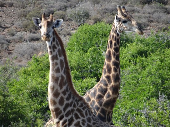Kwandwe Great Fish River Lodge:                   Giraffe