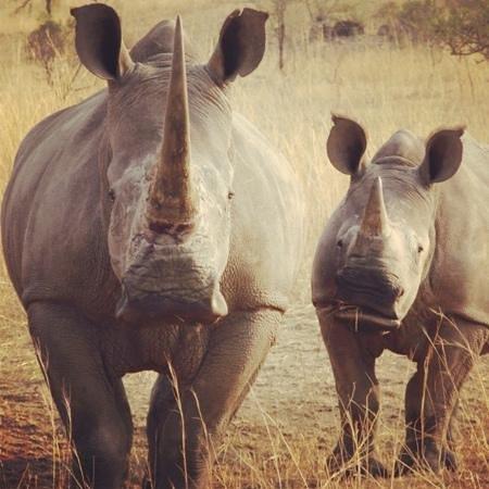 Nkomazi Game Reserve:                   rhinos
