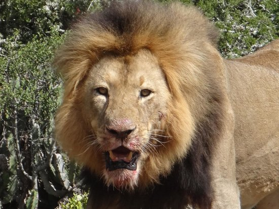 Kwandwe Great Fish River Lodge:                   Male Lion after the kill