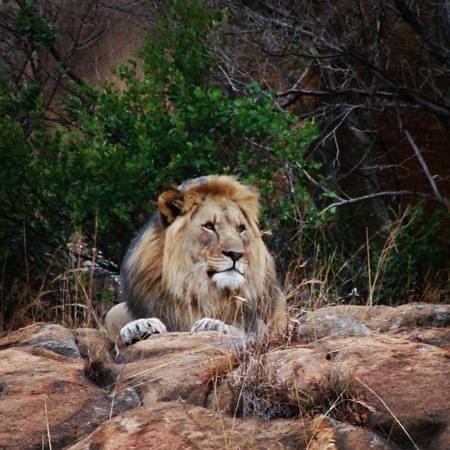 Nkomazi Game Reserve:                   Lion