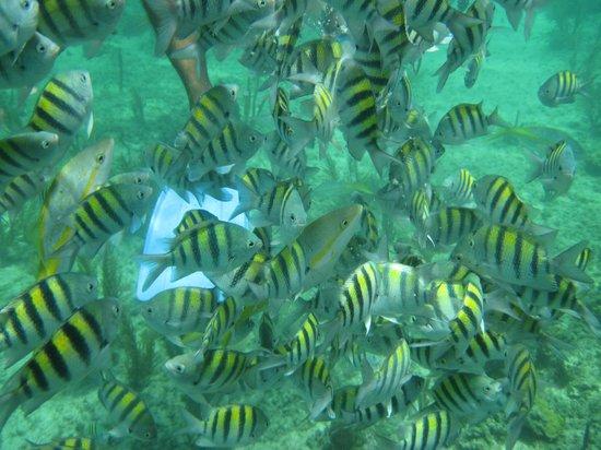 Пляж Пилар:                   Lots of fish in Playa Pilar Reef