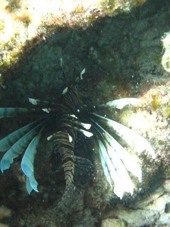 Пляж Пилар:                   A Lionfish in Playa Pilar Reef