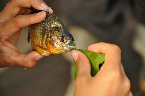Posada Amazonas:                   piranha