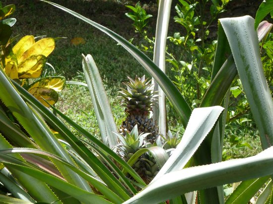 Finca Mystica:                   A pineapple growing alongside the path from the veranda to the cabins.