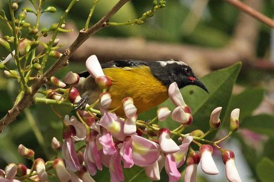 Serenity Lodges Dominica:                   Bananaquit