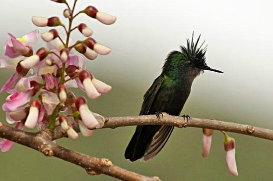 Serenity Lodges Dominica :                   Antillean Crested Hummingbird