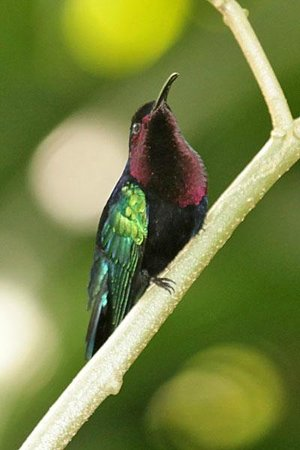 Serenity Lodges Dominica:                   Purple-throated Carib