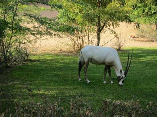 Al Maha, A Luxury Collection Desert Resort & Spa:                   An Arabian Oryx outside our room