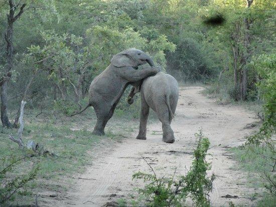 Kapama River Lodge :                                     Bebês elefantes brincando