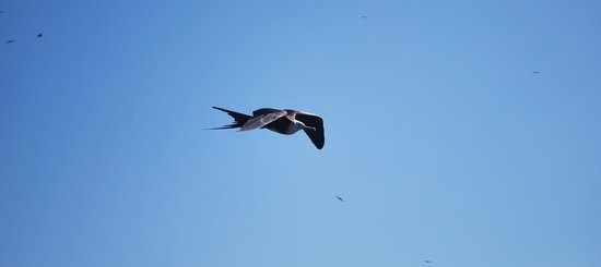 Contoy Adventures:                   frigate bird