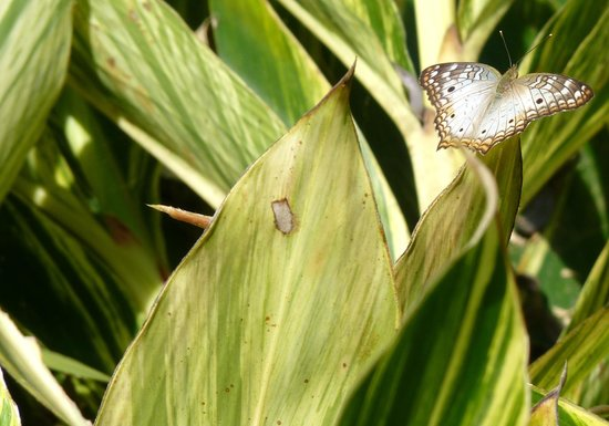 Pura Vida Gardens and Waterfalls:                   Just one of the many butterflies                 
