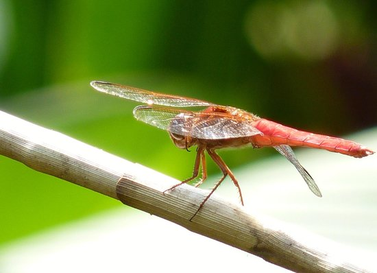 Pura Vida Gardens and Waterfalls:                   Bright Red Dragonfly                 