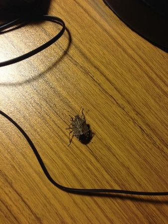Aloft Arundel Mills:                   stink bug on desk basking in the warmth of the only working light in the room