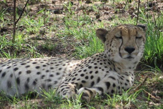 Shiduli Private Game Lodge:                   Cheetah photographed on ground at 30 feet