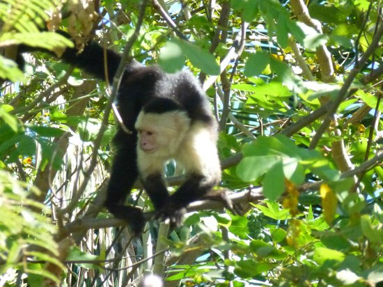 Hotel Barcelo Langosta Beach:                   Capuchin White faced monkey we saw on Palo River tour